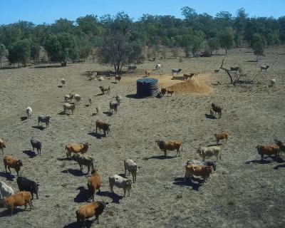 Cattle herd surveillance and management utilising an autonomous drone.